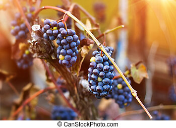 Bunches of blue grapes