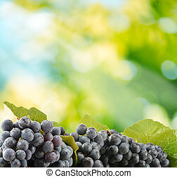 Bunches of fresh red grapes in the garden