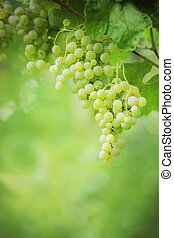 Bunches of growing green grapes.