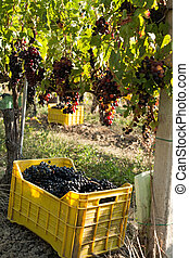 Bunches of grapes in crate