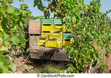 Bunches of grapes in crates loaded on truck