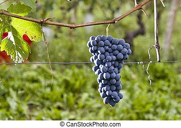 Bunches of grapes in Piedmont Italy