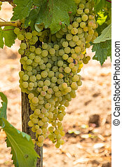 bunches of grapes in the vineyard