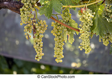 Bunches of grapes ripening in the sun in Italy