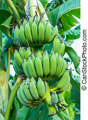 Bunches of green bananas growing in a tropical rain forest
