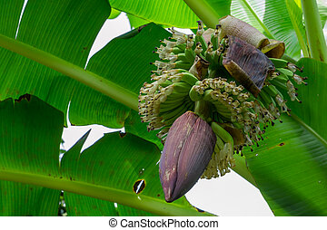 Bunches of green bananas growing on tree in Thailand