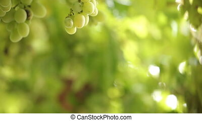 bunches of green grapes in the rain