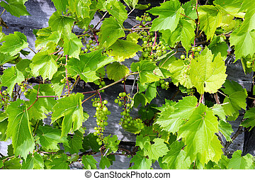 Bunches of green wine grapes on vine