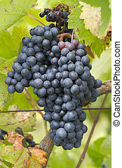Bunches of red grapes growing in a vineyard
