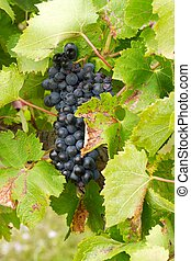 Bunches of red grapes growing in the vineyard