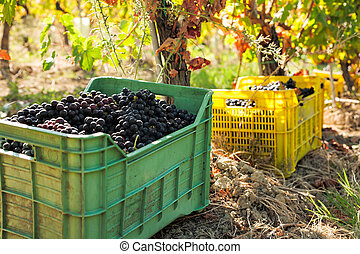 Bunches of red grapes in crates in the vineyard