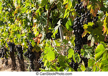 Bunches of red grapes in the vineyard