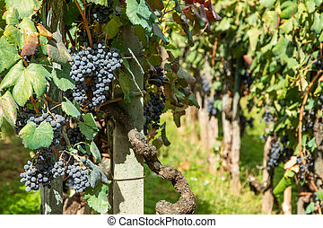 bunches of red grapes in the vineyard outdoors