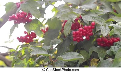 Bunches of red viburnum berries on a branch.