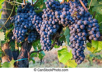 Bunches of Red Wine Grapes on Vines