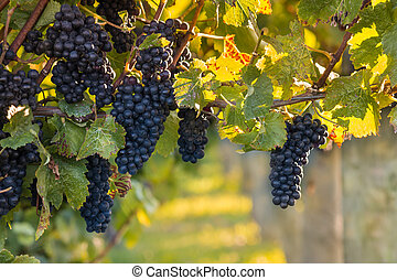 bunches of ripe black grapes in vineyard at autumn