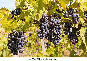 bunches of ripe Cabernet Sauvignon grapes on vine in vineyard