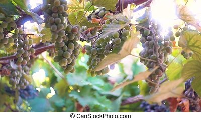 Bunches of ripe grapes against the background of the sun