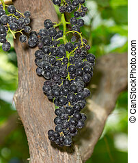 Bunches of ripe grapes among green leaves in vineyard