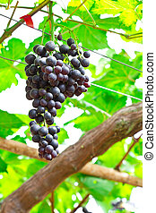 Bunches of ripe grapes hanging in vineyard