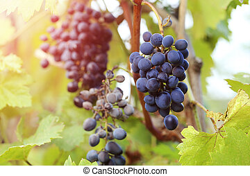 Bunches of ripe grapes in the garden