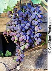 Bunches of ripe grapes in vineyard