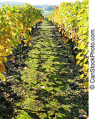 Bunches of ripe grapes on the ground. Vineyard in Montreux, Switzerland
