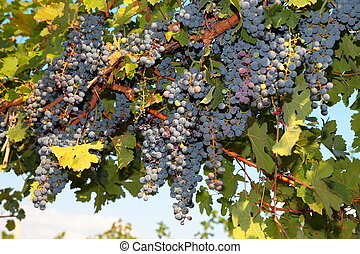 Bunches of ripe grapes on the vine, selective focus