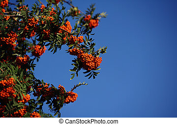 Bunches of ripe mountain ash against the blue sky. Shrub with orange berries.