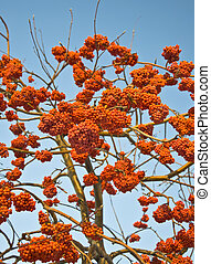 Bunches of ripe mountain ash in the city park. Autumn. Against the blue sky.