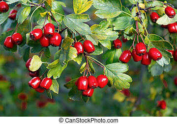 Bunches of ripe red berries of hawthorn, close up