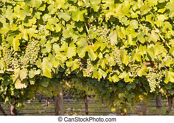 bunches of ripe Sauvignon blanc grapes with leaves on vine...