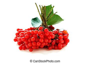 Bunches of ripe viburnum.