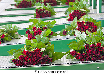 Bunches of roses at a conveyor belt, ready for shipping to ...