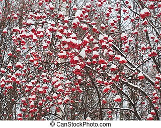 Bunches of Rowan berries under the snow. After snowfall.