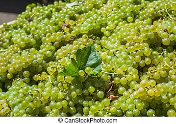 Bunches of Sauvignon Blanc grapes in vineyard in harvest...