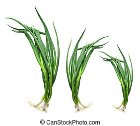Bunches of Spring Onions