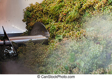 Bunches of white grapes during the crushing process