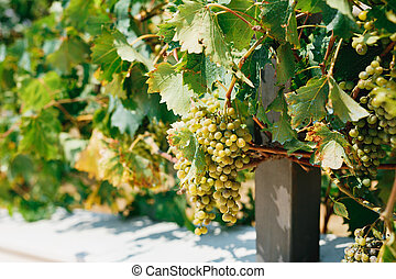Bunches of white grapes in leaves in the sun