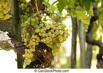 bunches of white grapes in the vineyard outdoors
