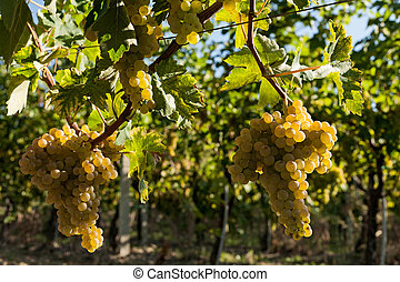 Bunches of white grapes on the vine