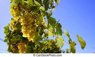 bunches of White wine grape