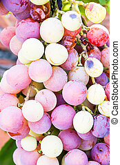 Bunches of wine grapes