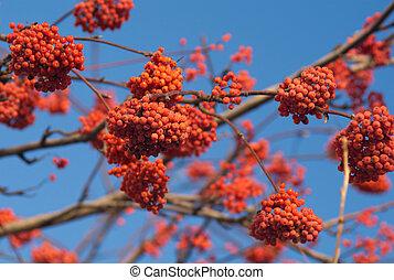 bunchs, muitos, árvore, rowan, ramo, bagas, vermelho