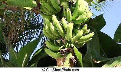 Bundle of bananas - A bundle of bananas ripen on the palm on...
