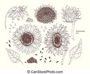 Bundle of elegant botanical drawings of sunflower parts. Set of flowers, buds, seeds and leaves hand drawn with contour lines on white background. Monochrome vector illustration in vintage style.