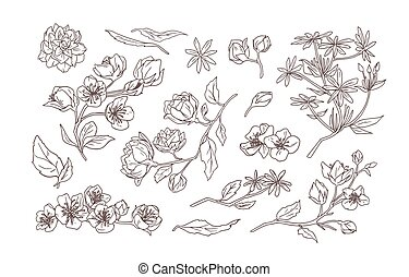 Bundle of elegant detailed natural drawings of jasmine and mock-orange blooming flowers and leaves hand drawn with contour line on white background. Botanical vector illustration in vintage style.