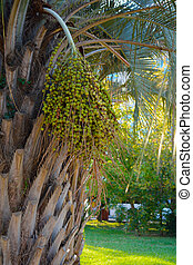 Bundle of green ripe fruit on the palm