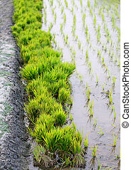 Bundle of rice seedlings in rural agriculture field
