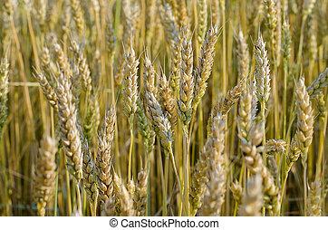bundle of wheat ears